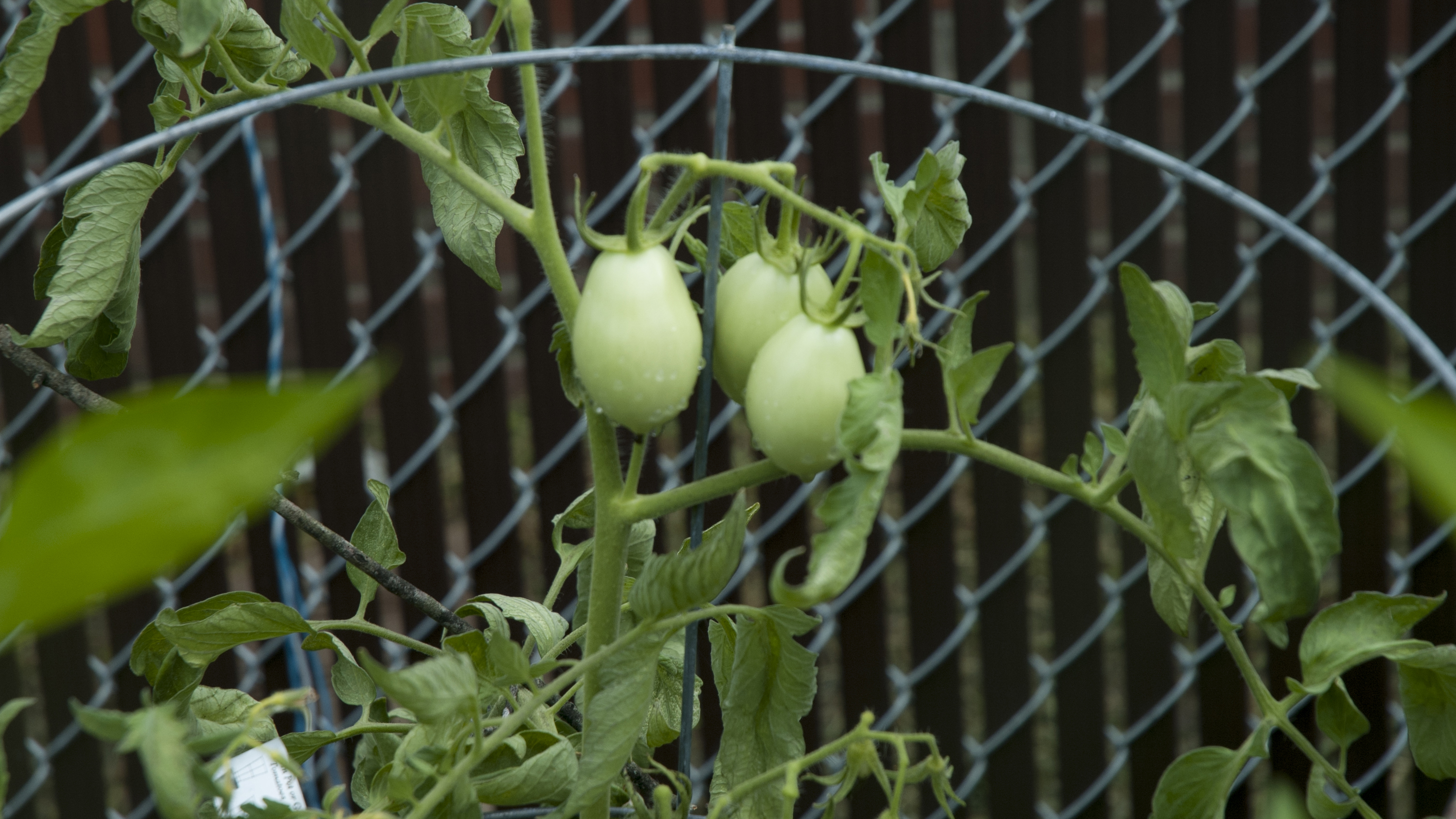 Green tomatos grown in the Culinary Arts garden.